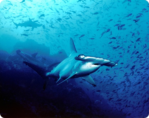 Рыба-молот - самый свирепый хищник глубин
