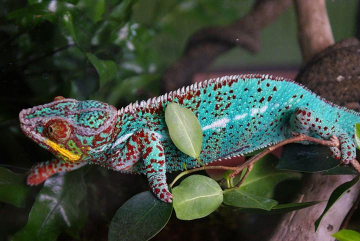 xameleon 4 Интересные факты о хамелеонах