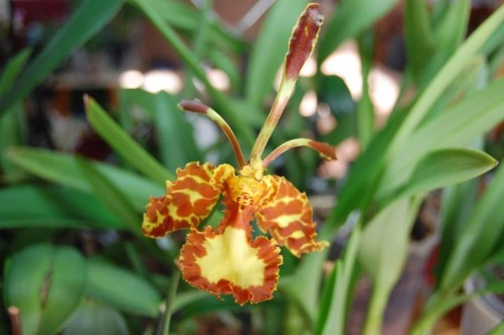terraoko butterfly orchid 2014 16 Самая красивая орхидея бабочка