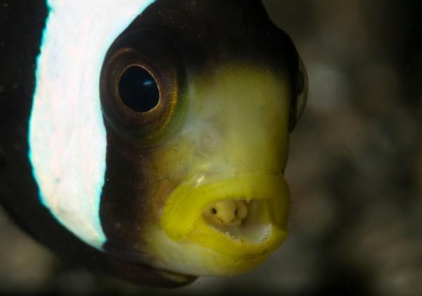 Saddleback anemonefish, Amphiprion polymnus, and tongue biter isopod parasite, Cymothoa exigua, Lembeh Strait, Bitung, Manado