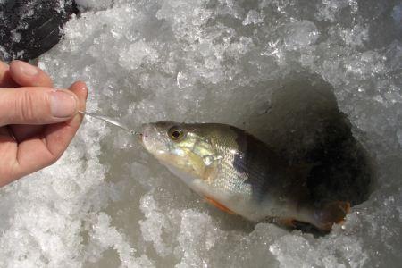 Ловля окуня на блесну со льда. Блеснение окуня. Как поймать окуня на блесну