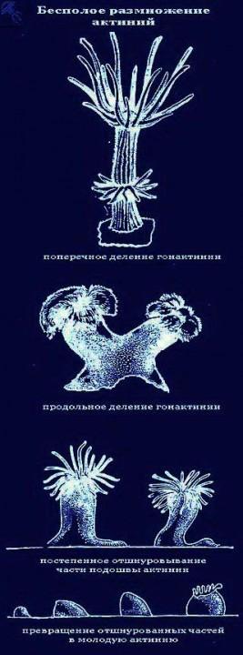 размножение актиний