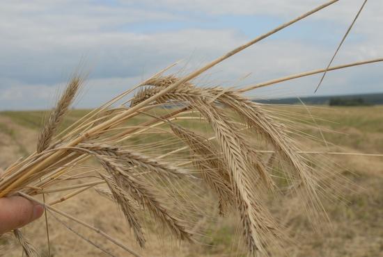 ГМО-культурами занято в мире 11 процентов посевных площадей. Выращивают их в 28 странах, лидеры – США, Бразилия, Аргентина, Канада, Индия, Китай. Теперь к ним может присоединиться и Россия. Фото Алексея Кунилова.
