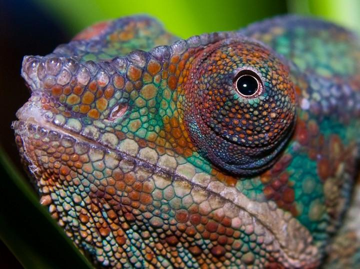 xameleon 6 Интересные факты о хамелеонах