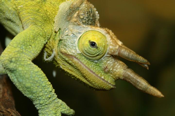 xameleon 7 Интересные факты о хамелеонах