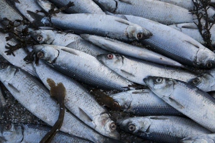 Clupea02 Рыбный апокалипсис в Исландии – погибло 30.000 тонн сельди