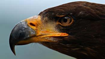 Зоркий орёл, внимательность