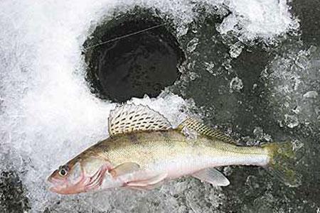 Зимняя рыбалка на судака. Ловля судака зимой. Зимний судак