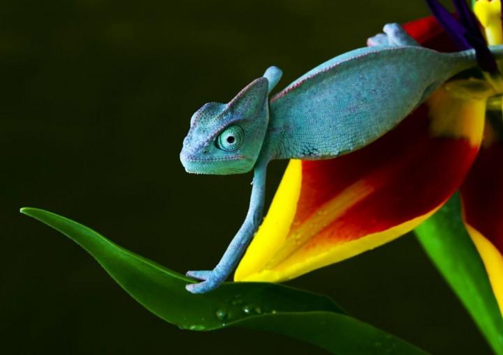 xameleon 15 Интересные факты о хамелеонах