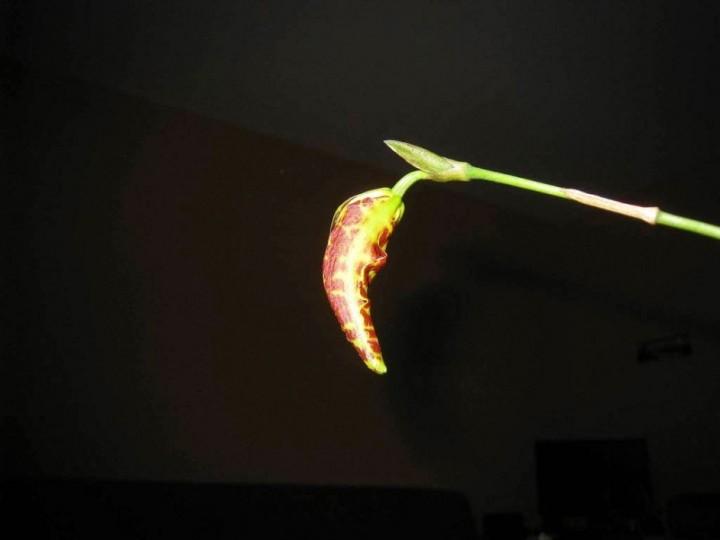 terraoko butterfly orchid 2014 5 Самая красивая орхидея бабочка