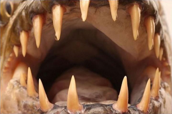 ruba goliaf10 990x658 Водный монстр из Африки   Тигровая рыба Голиаф