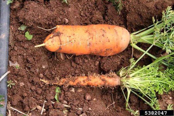 Внизу— морковка, пораженная фитоплазмой, вверху— здоровая морковка, выращенная рядом