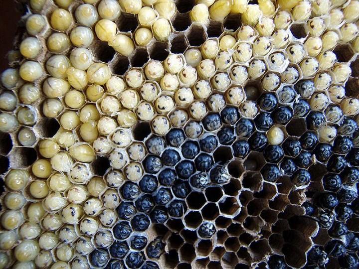 edible02 Фотогид по съедобным насекомым