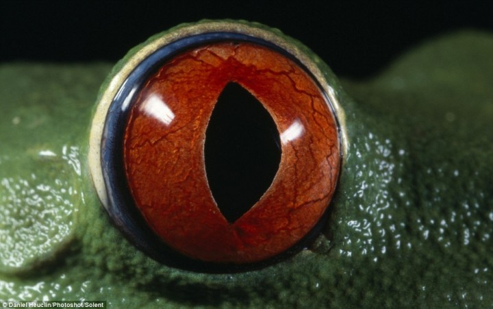 eyes06 Глаза амфибий
