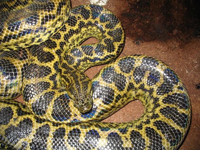Анаконда. Самая большая змея в мире