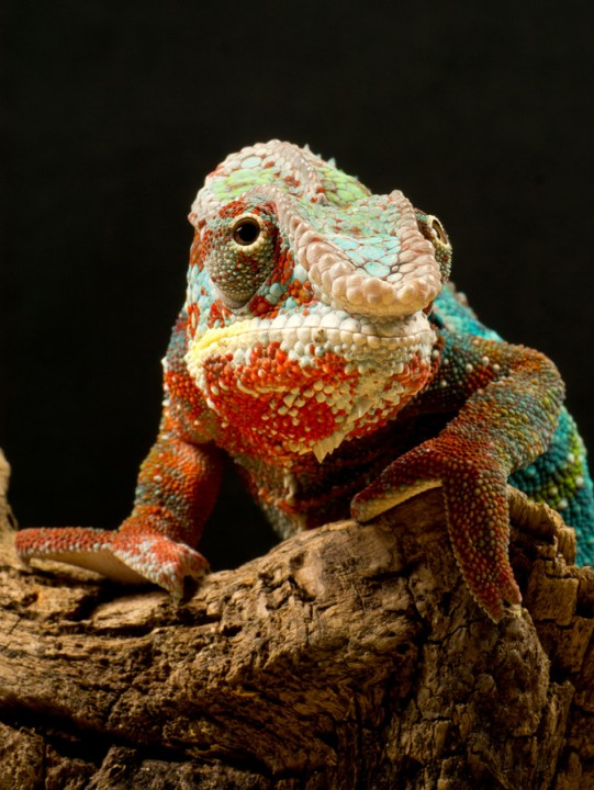 xameleon 5 Интересные факты о хамелеонах