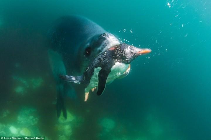 intojaws05 Последние секунды жизни пингвина