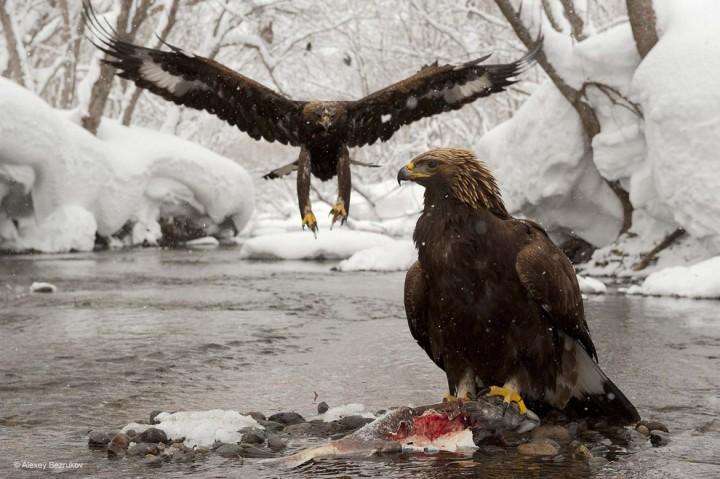 bestofwild19 Лучшие фотографии диких животных за 2013 год