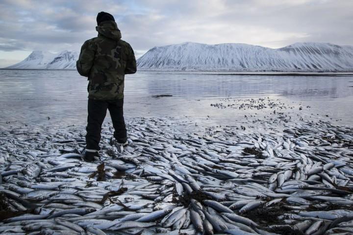 Clupea01 Рыбный апокалипсис в Исландии – погибло 30.000 тонн сельди