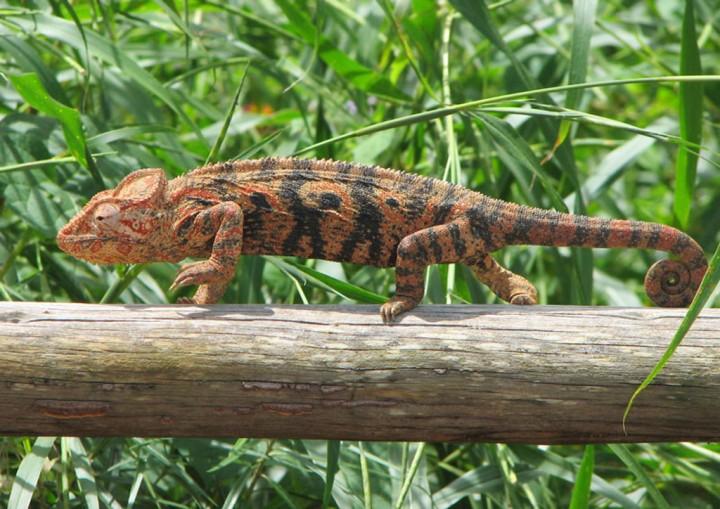 xameleon 12 Интересные факты о хамелеонах