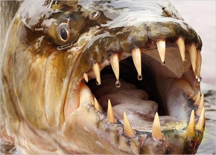 Водный монстр из Африки   Тигровая рыба Голиаф