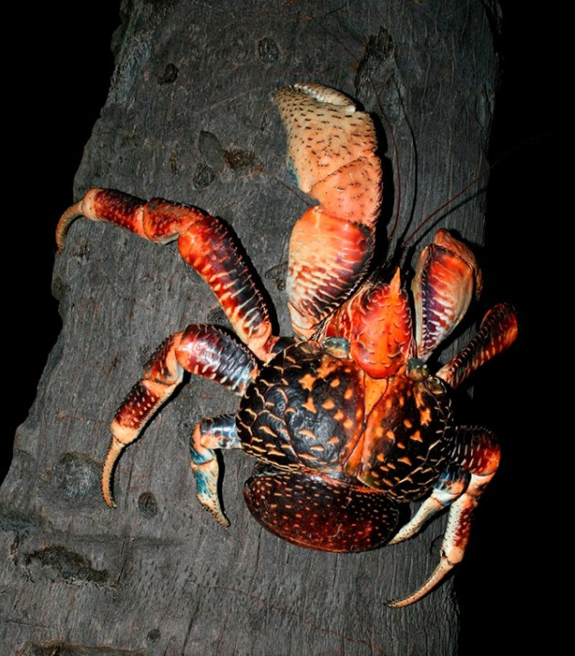 Самый крупный представитель членистоногих, кокосовый краб!
