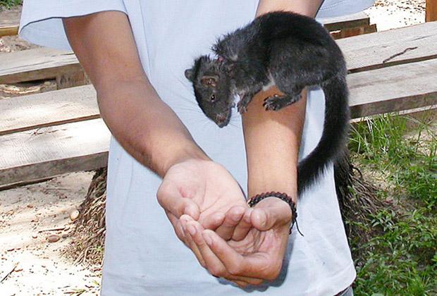 Лаосская скальная крыса