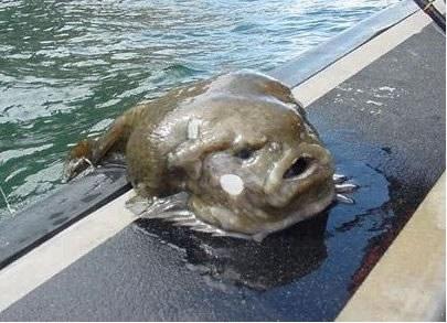 Самые диковинные рыбы в мире :) (10 фото)