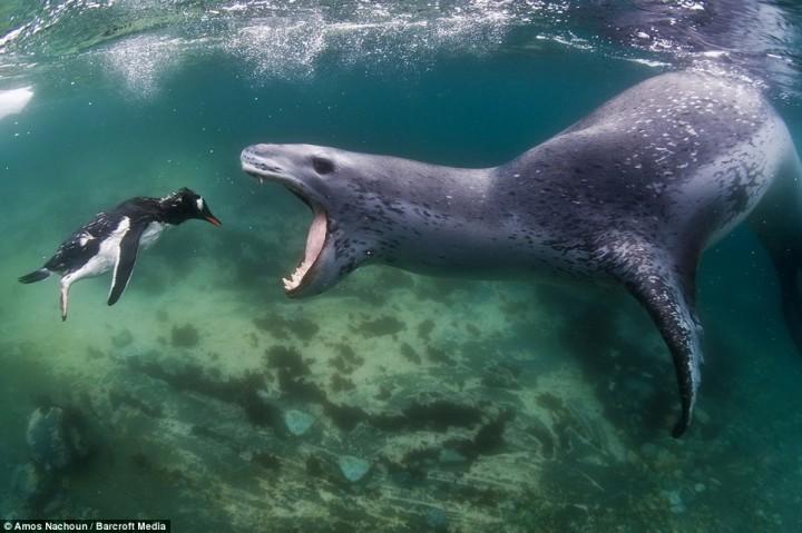 intojaws01 Последние секунды жизни пингвина