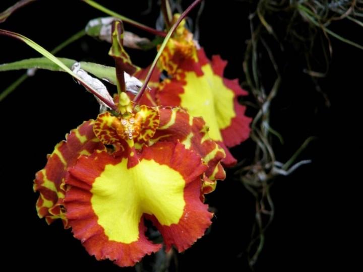 terraoko butterfly orchid 2014 6 Самая красивая орхидея бабочка
