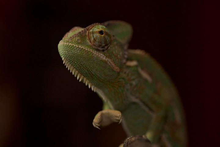 xameleon 13 Интересные факты о хамелеонах