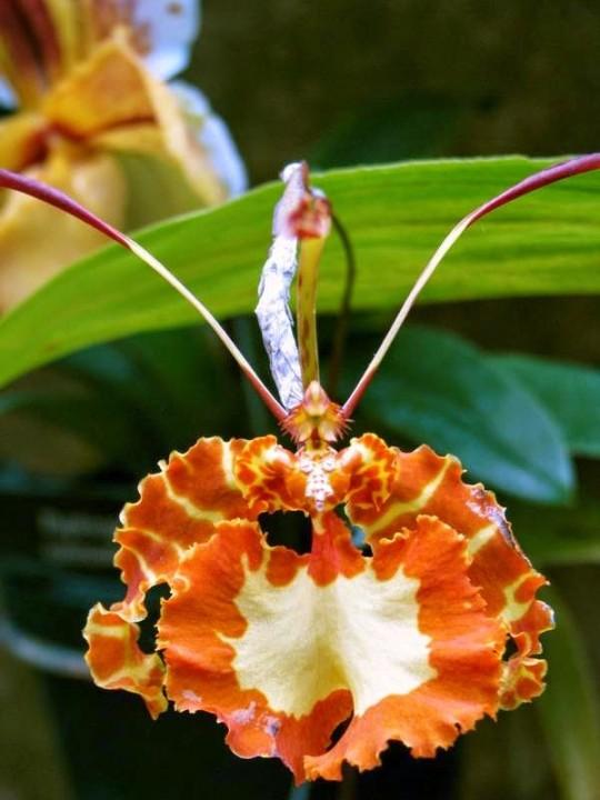 terraoko butterfly orchid 2014 7 Самая красивая орхидея бабочка