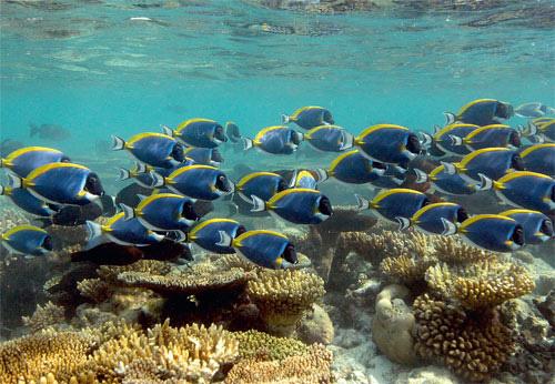 Стая белогорлых рыб-хирургов (Acanthurus leucosternon). Рыбы-хирурги — растительноядные и активно выедают водоросли на рифе.