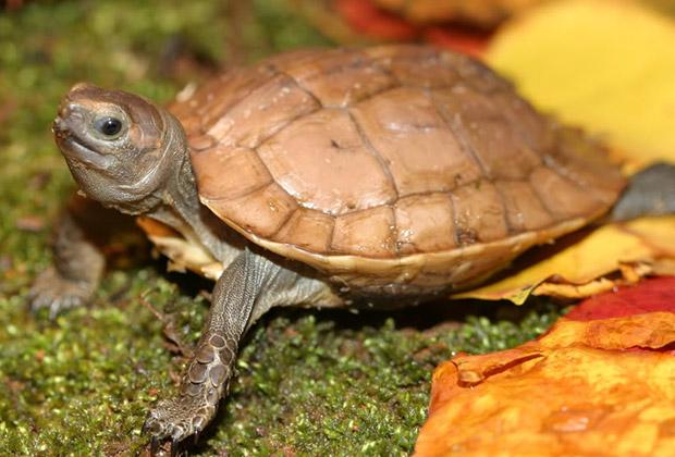 Араканская шиповая черепаха
